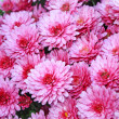 Stock Photo: Pnk chrysanthemum