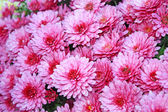 Pnk chrysanthemum — Stock Photo