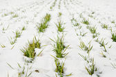 Green grass on a field covered with snow — Stock Photo