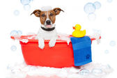 Dog taking a bath in a colorful bathtub with a plastic duck — Zdjęcie stockowe