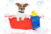 Dog taking a bath in a colorful bathtub with a plastic duck — Stok fotoğraf