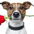 Valentine dog — Foto Stock
