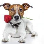 Valentine dog — Stock Photo #8514698