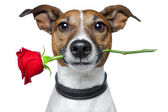 Valentine dog — Stock fotografie