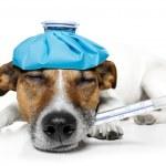 Sick DOG — Stock Photo