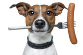 Hungry dog with a sausage on the fork — Stock Photo