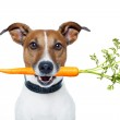 Healthy dog with a carrot — Stock Photo