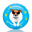 Dog sunbathing with air mattress — Stock Photo