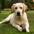 Yellow labrador retriever - Stock Photo