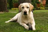 Yellow labrador retriever — Stock Photo