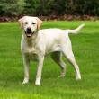Yellow labrador retriever — Stock Photo