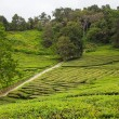 Tea fields — Stock Photo