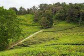 Tea fields — Stock Photo