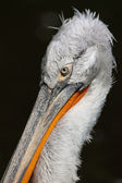 The Pelican — Stock Photo