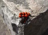 Familie van lieveheersbeestjes — Stockfoto