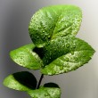 Stock Photo: Rose leaf