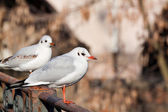 Mouette rieuse — Photo