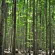 Beech forest — Foto de Stock