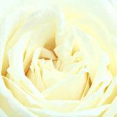 White rose texture — Stock Photo