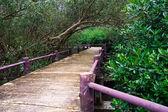 Passerella nella foresta di mangrovie, — Foto Stock