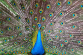 Peacock with a tail — Stock Photo