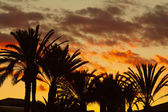 Photo of palm trees against the sky at sunset — Stock Photo