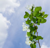A branch of apple blossoms — Stock Photo