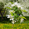 Stock Photo: Branch of apple blossoms