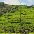 Tea Plantation — Stock Photo #8605432