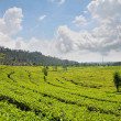 Tea Plantation — Stock Photo #8605448