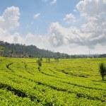 Tea Plantation — Stock Photo