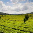 Tea Plantation — Stock Photo #8605474