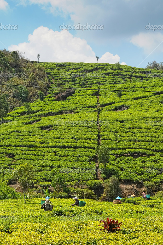 Tea Plantation around Bandung, Indonesia — Stock Photo #8605432