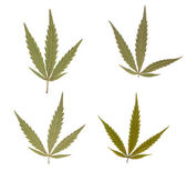 Marihuana leaves — Stock Photo
