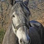 Gray horse head — Stock Photo
