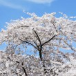 Stock Photo: Flowering Cherry Tree