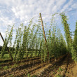 Hop field - Stock Photo