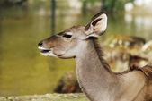 Kudu Antelope — Stock Photo