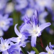 Scilla Flowers — Stock Photo