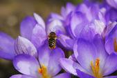Abeille vole à fleurs de crocus — Photo