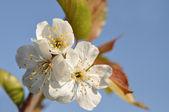 Ciliegi fiorisce — Foto Stock