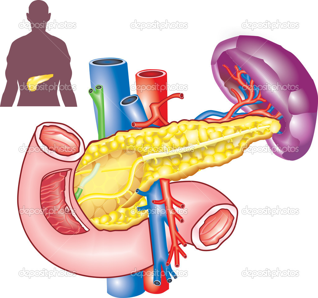Pancreas — Stock Vector #8885259