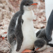 Chick penguin — Stock Photo #8524167