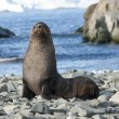 Fur seals on the beach in the Antarctic Ocean — Stockfoto