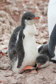 Chick penguin — Stock Photo