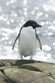 Adelie penguin on sea background. — Stock Photo
