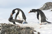 Curious Gentoo Penguin — Stock Photo
