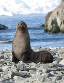 Fur seals on the beach in the Antarctic Ocean — Stock Photo