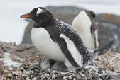 Gentoo penguin in the nest during a snowfall — Stock Photo