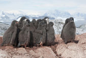 Group of Adelie penguins chicks. — Stock Photo